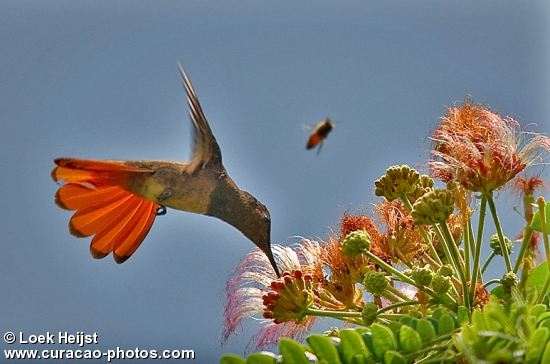 red humming bird