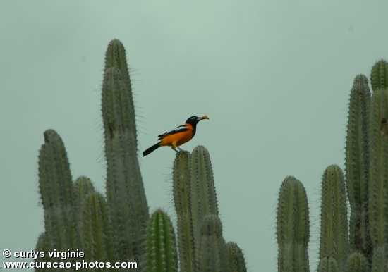 Bird on the cactus (Tropial)