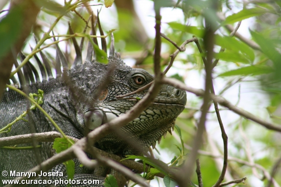 Big iguana in a tree at Mahuma