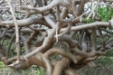A tangle of branches at Playa Canoa