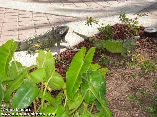 Iguana @ Curacao Marriott 2