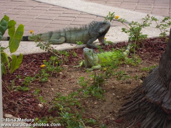Iguana @ Curacao Marriott 3