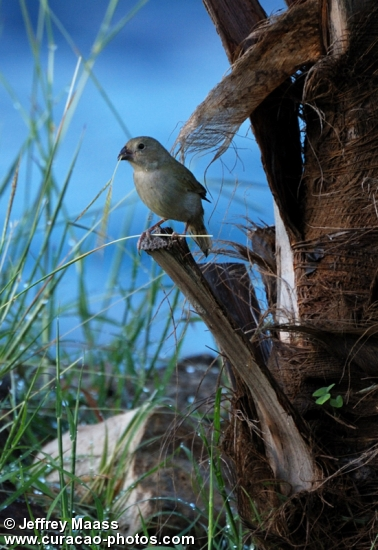 Curacao Bird: Black-faced Grassquit #2