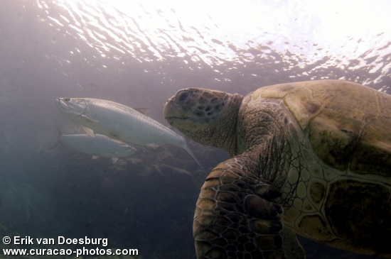 sea turtle ft tarpon