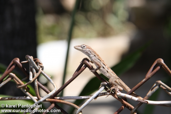 snap shot lizard