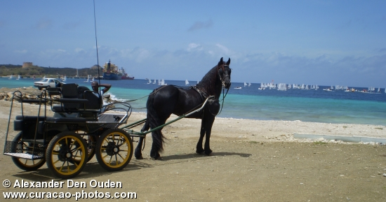 Anne a registered friesian mare, at Caracasbay, during the international optimum sailng championship