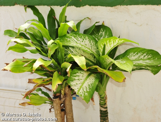 One of Curacao Great Plants
