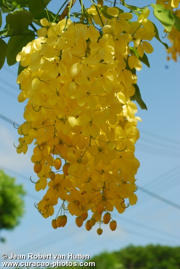 Golden Shower Tree (Cassia fistula) CURACAO
