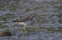 (Added: February 18, 2017) Lesser Yellow Legs
